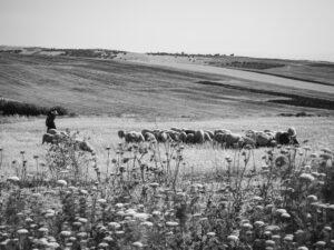 Sheeps in Middle Atlas